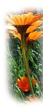 photo of gazanias